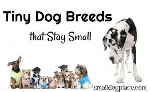 Tiny Dogs that Stay Small
