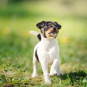 Toy Fox Terrier in the grass