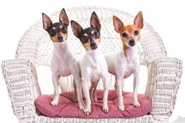 Three Toy Fox Terriers