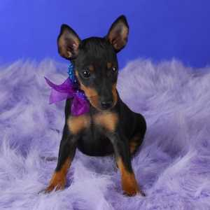 Manchester Terrier puppy with link to the breed profile page
