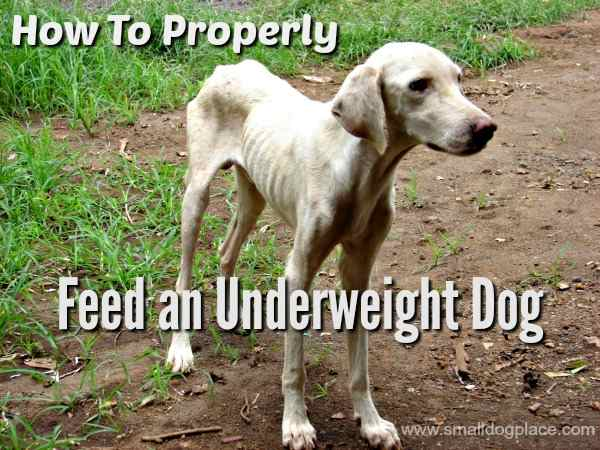 How to feed an underweight dog