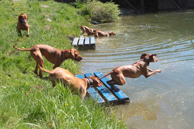 A group of Vizsla dogs are jumping into a small river or stream.