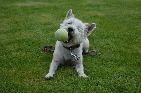 A West Highland White Terrier is about to catch a ball in his mouth.