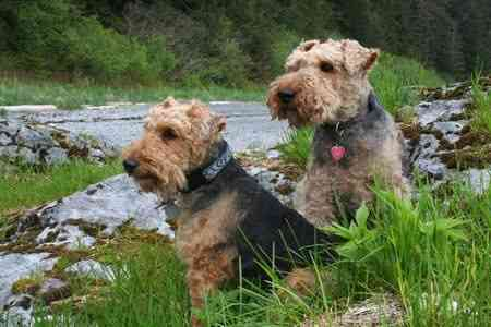 The Welsh Terrier