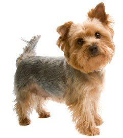 Yorkshire Terrier Puppy Socialization