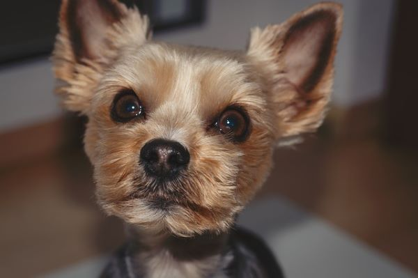 a small Yorkshire Terrier who was just groom is looking straight into the camera.