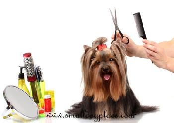 A Yorkshire Terrier being groomed