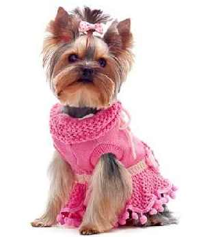 Yorkshire Terrier (a toy breed) dressed in pink.