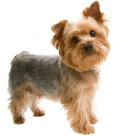 Popular Small Breed Dogs