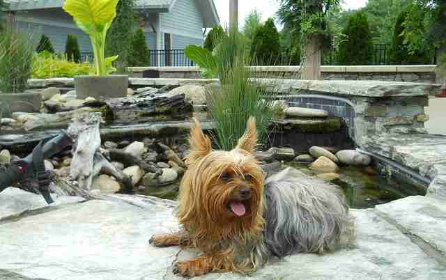 The tiny Yorkshire Terrier is a very long lived dog breed clocking in at upwards of 20 years.