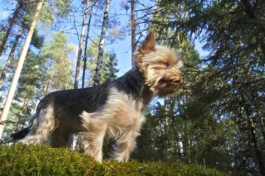 Yorkies make great therapy dogs because they are naturally curious and outgoing.